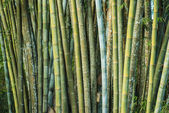 Big fresh bamboo grove in forest — Stock Photo