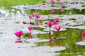 Pink lotus blossom — Stock Photo