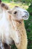 Camel on a background of aviary. — Stock Photo