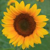 Sunflower in the field against a green background. — ストック写真