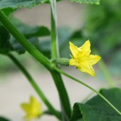 Flowering cucumber seedling with a small cucumber. — Stock Photo