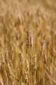 Ears wheat in a field as a background. — Stock fotografie