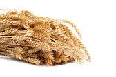 Uši pšenice na bílém pozadí. — Stock fotografie
