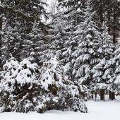 Vinterlandskap med snö täckta granar. — Stockfoto