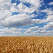 Field of ripe wheat ears against the blue sky with clouds. — Stock Photo #53018557