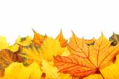 Autumn yellow and red leaves on white background. — Stockfoto