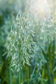 Ears of oats on the green field. — Stock Photo