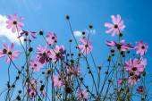 Pink flowers on a background of blue sky. — Stock Photo