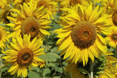 Sunflowers in a field on a sunny day. — Stock Photo
