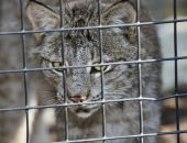 Lynx In Cage — Stock Photo