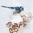 Blue Jay In Winter — Stock Photo #57044035