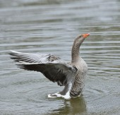 Gray Goose — Stock Photo