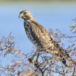 Young Hawk — Stock Photo #63439341