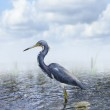 Tricolored Heron — Stock Photo #67774859