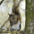 Eastern Gray Squirrel — Stock Photo #69668777