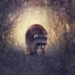 Wild Raccoon — Stock Photo #78247782