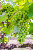 Bunch of grapes on with green leaves — Stok fotoğraf