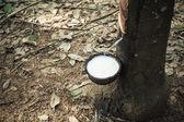 Milch des gummibaums mündet in eine schüssel geben — Stockfoto