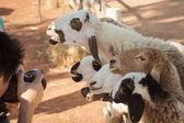 羊,看起来和微笑与摄影师 — 图库照片
