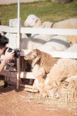 Brown sheep, looking and smiling with photographer — Stock Photo