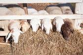 Sheep head and straw — Stock Photo