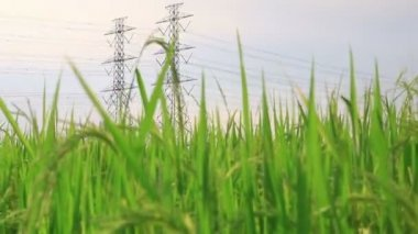 Electric pole, High voltage towers in rice green filed dolly crane shot — Stock Video