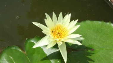 Lotus Flower, yellow color in a pond and bee — Stok video