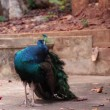 Indian Peafowl or peacock stand and dressing feathered on the ground — Stock Video #62396173