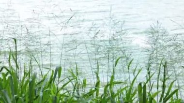 Grass plant moving in the wind at the river — Stock Video