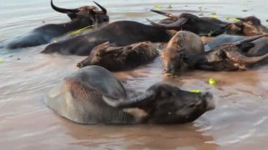 Crowd of Water buffalo wading and cooling down in the river or pond — Video Stock