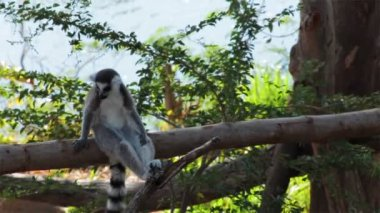 Ring-tailed Lemurs sitting on tree and looking around — Stock Video