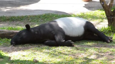 Malayan Tapir or Tapirus Indicus, lay down or sleeping for resting on green grass — Stock Video