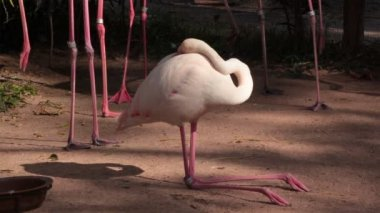 Flamingo bird laying down for sleeping or resting in ground — Stock Video