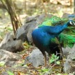 Indian Peafowl or peacock stand and dressing feathered on the ground — Stock Video #62836311