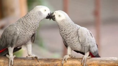 Couple Gray African Parrot kissing and take care together — Stock Video