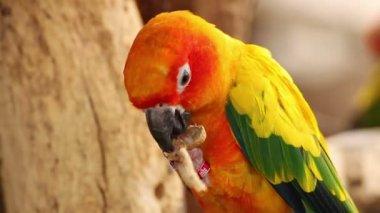 Kleurrijke gele papegaai eten van pinda, Sun papegaaiachtigen (Aratinga solstitialis) — Stockvideo