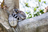 Ring-tailed Lemur (Lemur catta) sit on the tree — 图库照片