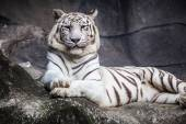 White bengal tiger, lying, relax, and watching on cliff — Stock Photo