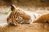 Bengal tiger is sleeping, and relax on timber under tree — Stock Photo