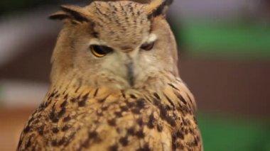 Europäischer Uhu oder Eurasian Uhu suchen und beobachten um in Hd, Closeup, erschossen — Stockvideo