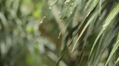 Raining and water drops on Green leaf Palm in HD, taken on overcast environment can use as romantic scene background — Stockvideo
