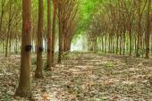 Walkway and Rubber tree latex agriculture in tropical forest wit — Stock Photo