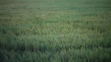 Green rice field and windy flow in HD, take paning shot at evening in twilight time — Stock Video