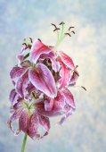 Piękne różowe lilia na niebieskim tle — Zdjęcie stockowe