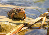 Brown toad in a pond — Stock Photo