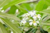Frangipani or Pagoda tree or Temple tree flower — Photo