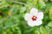Shoe Flower or Hibiscus — Stock Photo