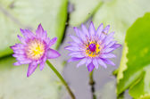 Lotus of water lily bloem — Stockfoto
