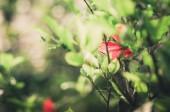 Hibiscus flower vintage — Stock Photo