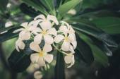 Frangipani or Pagoda tree or Temple tree flower vintage — Stock fotografie
